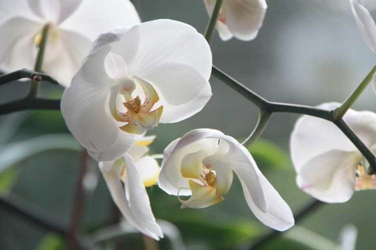 OrchideaPia2
