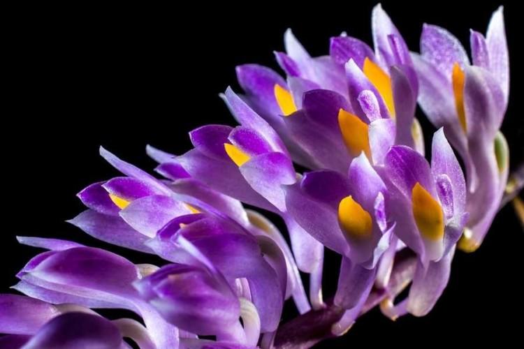 OrchideaPia3